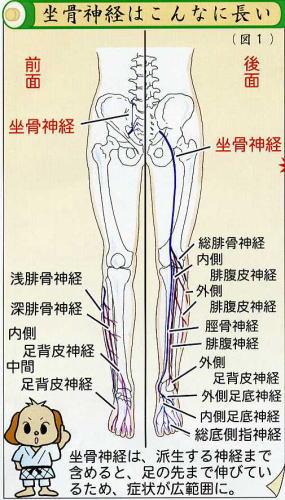 坐骨神経痛|症状|原因|改善方法|腰椎椎間板ヘルニア|腰部脊柱管狭窄症|変形性腰椎症