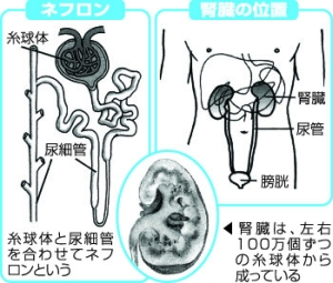 の 病気 腎臓 腎臓の病気一覧【原因・症状・治療法】